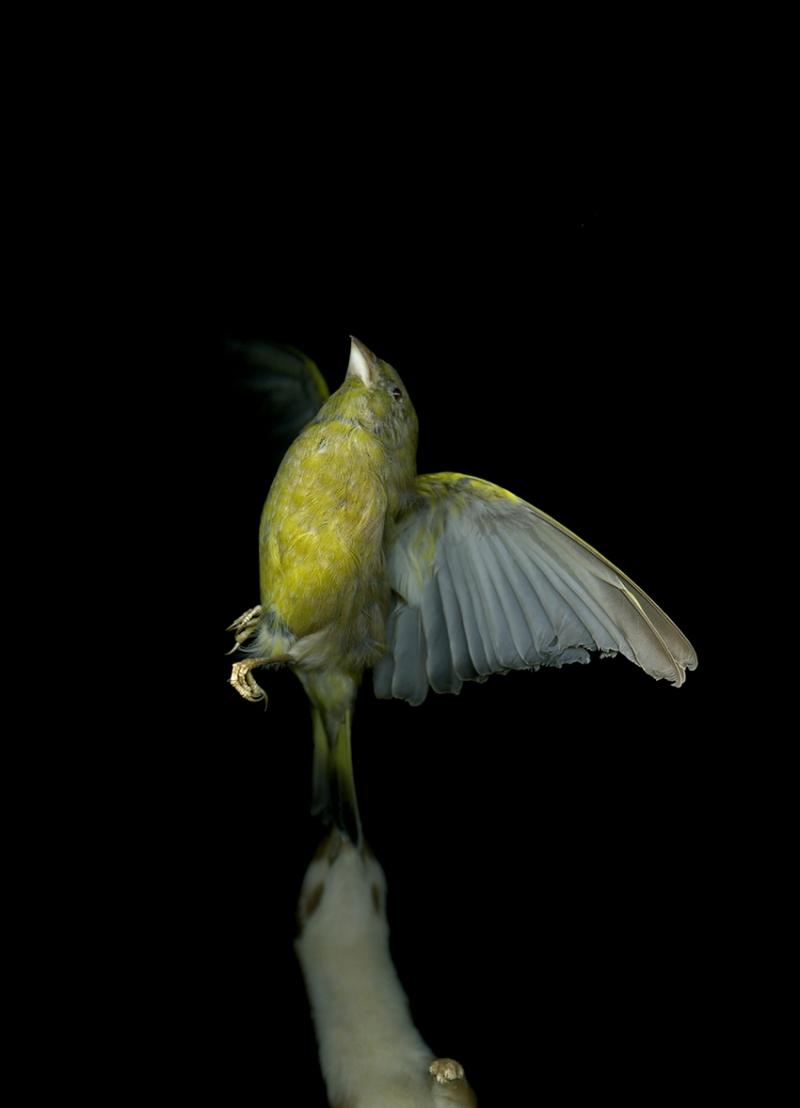 Greenfinch&Weasel©LizaDracup